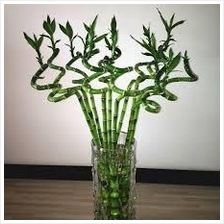 100 CM HEIGHT REAL LUCKY CURLY BAMBOO 10 STICKS CNY PLANTS DECORATION