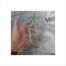 Tillandsia Sweet Isabel (M)
