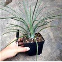 Agave Stricta 吹上