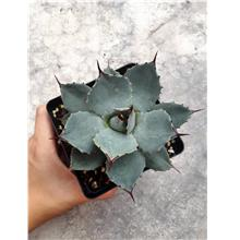 Agave Parryi 虚空藏