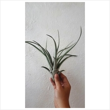 Tillandsia Swamp Rose