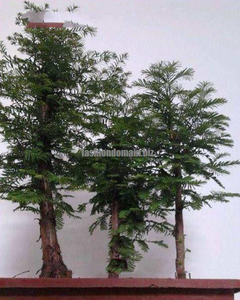 100 Pcs Pack Dawn Redwood Bonsai Tree Grove Metasequoia