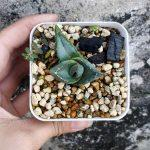 Agave Pumila 普米拉 (small)