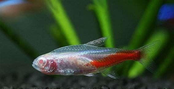 Albino Neon Tetra ( Aquarium / Aquascape / Fish)