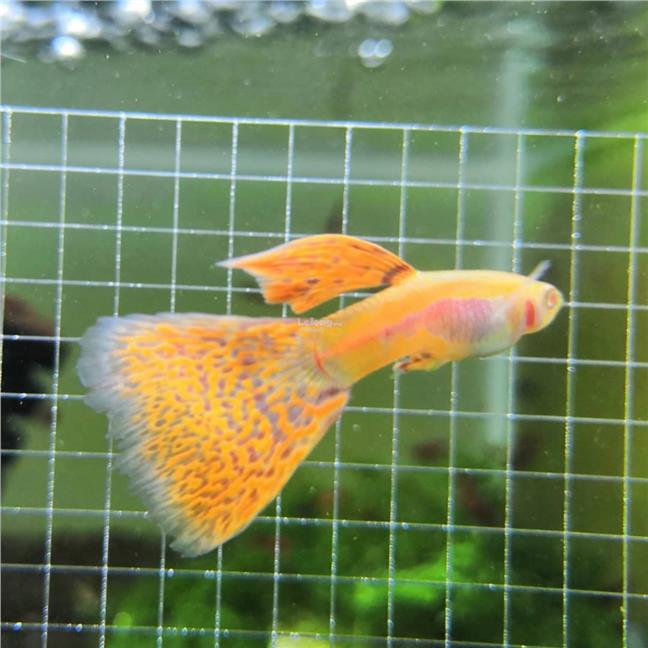 Albino Red Grass Guppy Fish Fresh Water ( Pair )