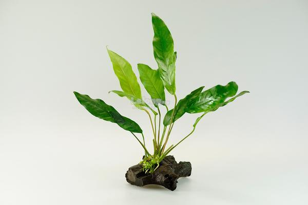 Anubias Glabra Wave Leaf Aquarium Aquascape Aquatic Plant