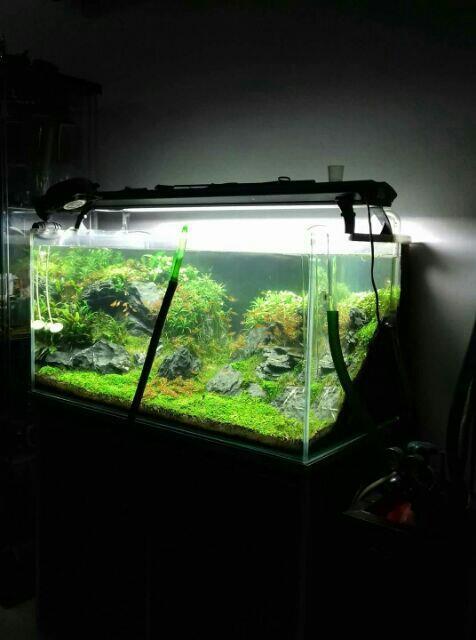 Aquarium Shrimp Fish Plant - Carpet Seeds