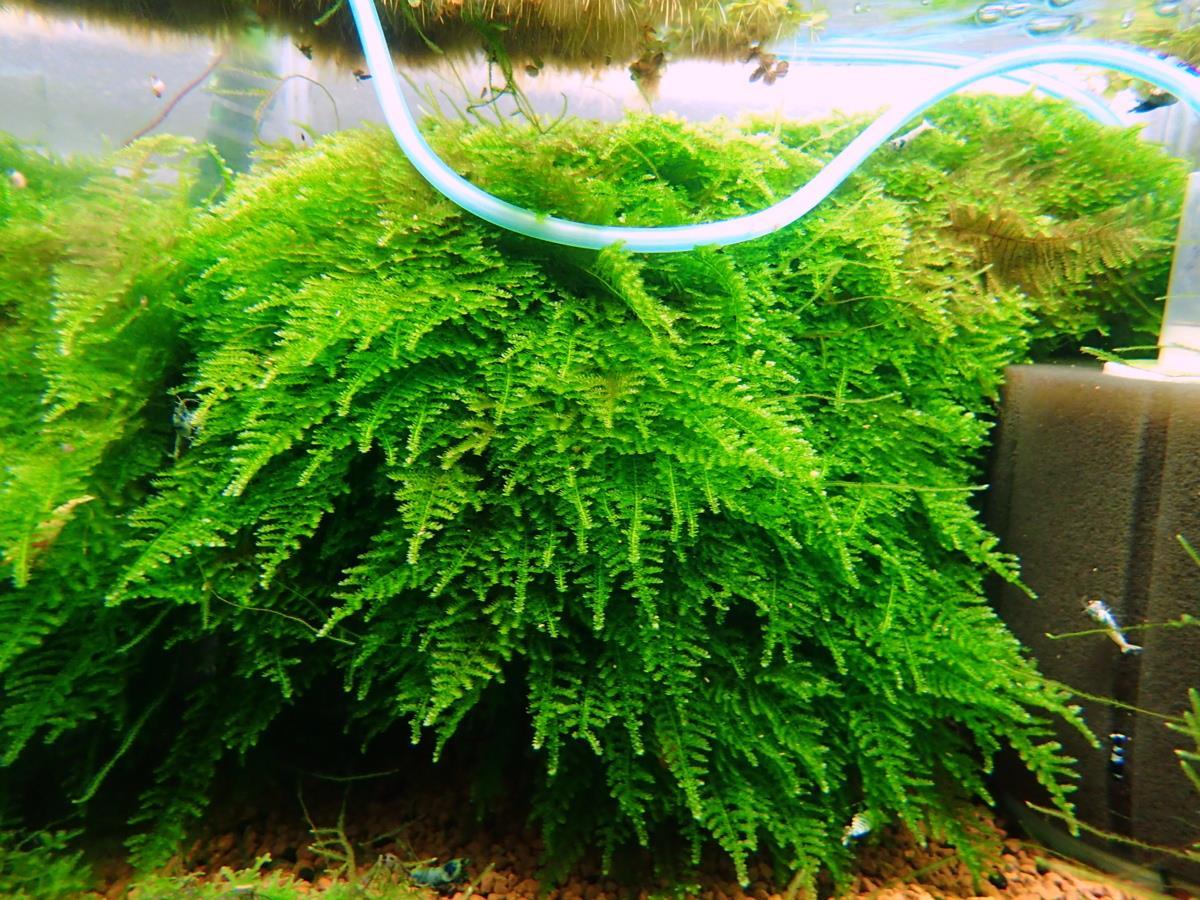 Christmas Moss Carpet.Aquarium Shrimp Plant Fish Christmas Moss