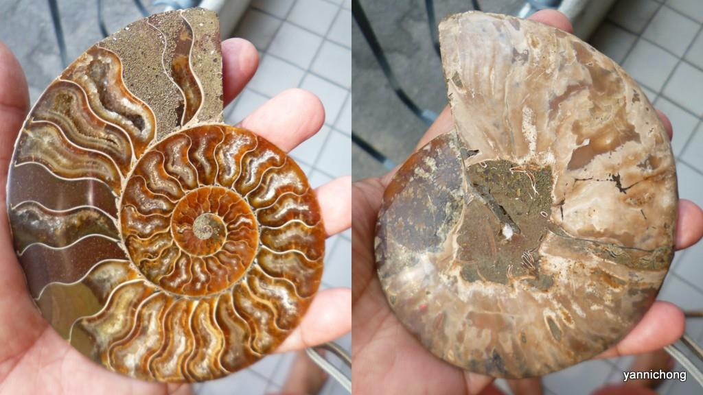 BIG  SIZE CUT  AMMONITE 200 MILLION YRS OLD
