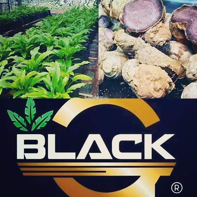 Black G - Black Ginger Capsules from MARDI
