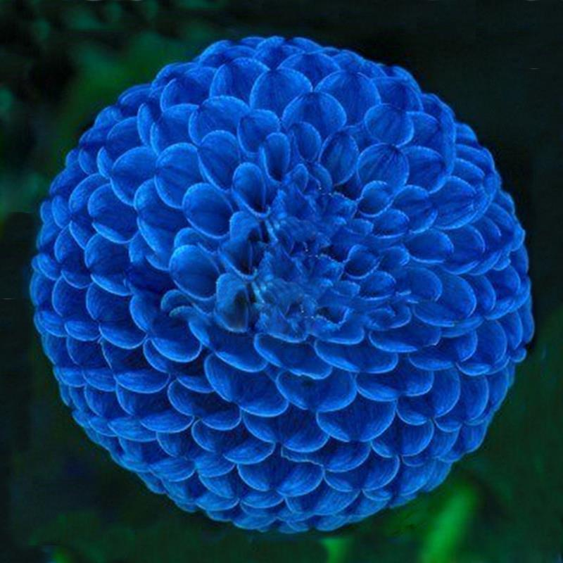 blue pompon dahlia flower seeds blue end 4 9 2017 11 15 pm. Black Bedroom Furniture Sets. Home Design Ideas