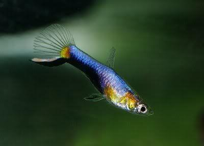 Blue Red Endler Guppy Freshwater Aquarium Fish