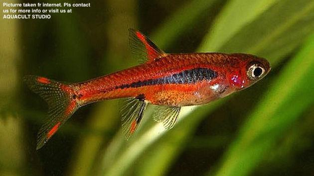 Boraras Brigittae (Freshwater Aquarium Fish / Aquascape / Shrimp Nano)