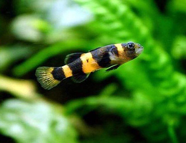 Bumblebee Goby Freshwater Aquarium Fish