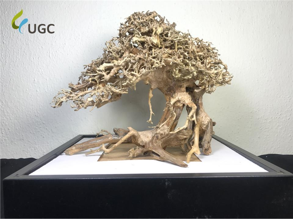 Caridinex Handmade Bonsai Driftwood - M 30cm (Aquascape/Vivarium/Wood)