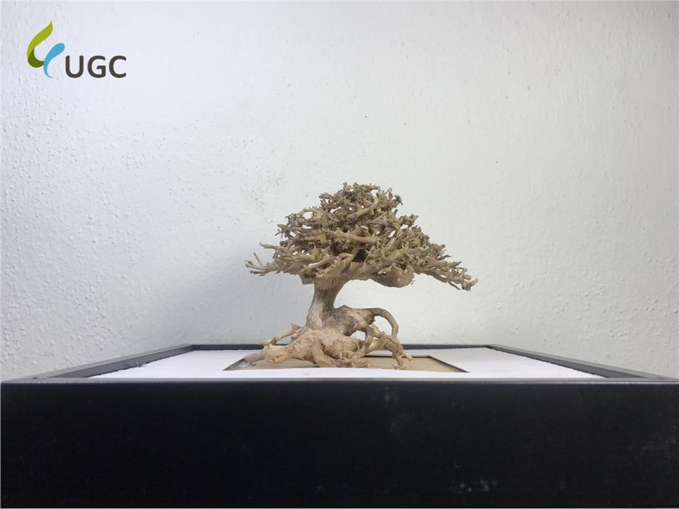 Caridinex Handmade Bonsai Driftwood - Nano 10cm (Aquascape/Bonsai)