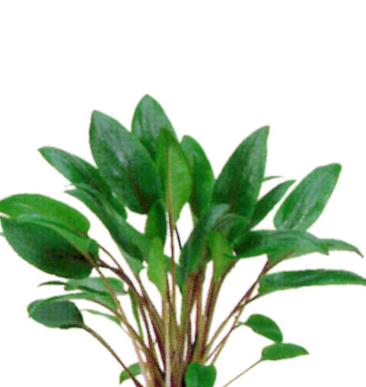 Cryptocoryne Wendtii Broad  'tissue culture'