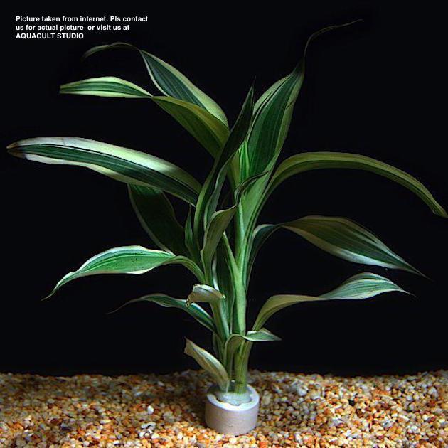 Aquascape Plants For Sale: Dracaena (Aquarium Aquatic Aquascape (end 9/30/2019 4:15 PM