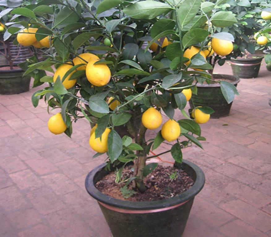Indoor lemon tree for sale bearss lime fruit trees dwarf for Fruit trees for sale