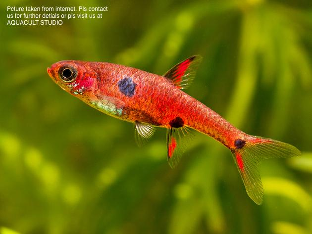 Dwarf Rasbora (aquarium Fish Tank Aquascape)