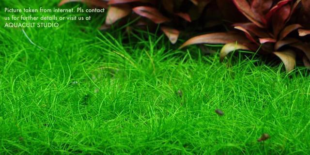 Eleocharis sp mini hair grass 2 wabi end 1 1 2019 9 15 am Hair grass