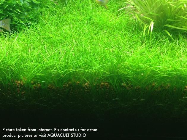 Eleocharis SP Mini Hair Grass Pot (Aquarium Aquatic Plant) ...