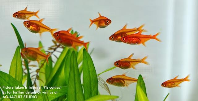 Ember Tetra Fish (aquarium aquascape freshwater fish)