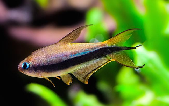 Emperor Tetra Aquarium Fish