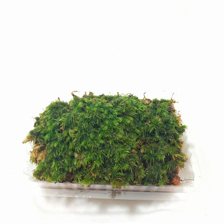 Feather Moss (Terrarium /  Vivarium / Paludarium)