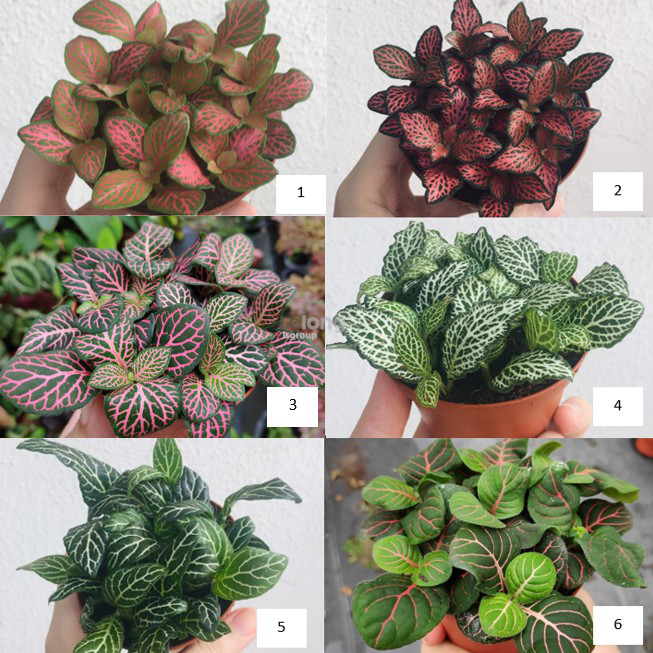 Fittonia indoor plant Variation 3 (can choose up to 7 variations)