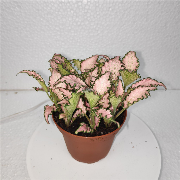 Fittonia indoor plant Variation 6 (can choose up to 7 variations)