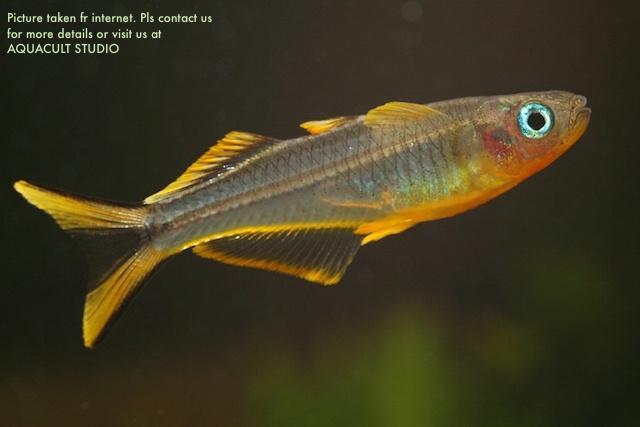 forktail rainbow aquarium fish aqu end 11 30 2019 2 15 am