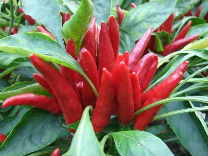 Free shipping cili jambakred pep end 4162017 1159 pm free shipping cili jambakred pepper seeds altavistaventures Images