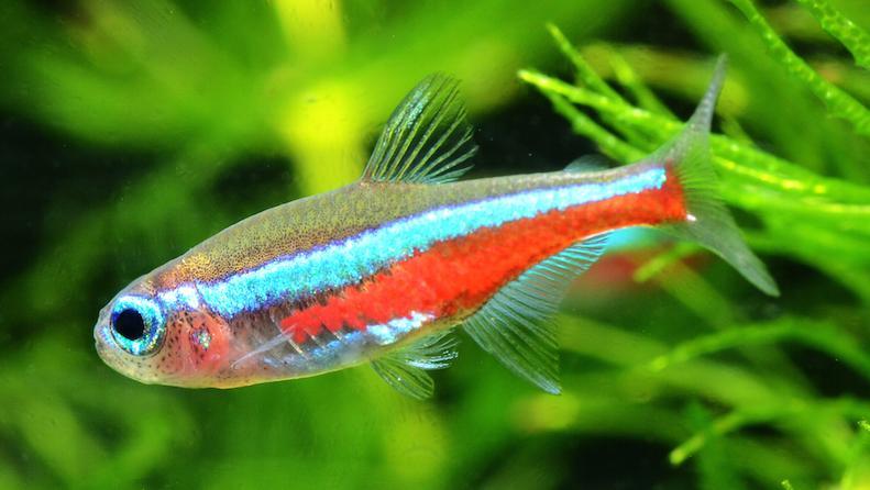 Green Neon Tetra Aquarium Fish