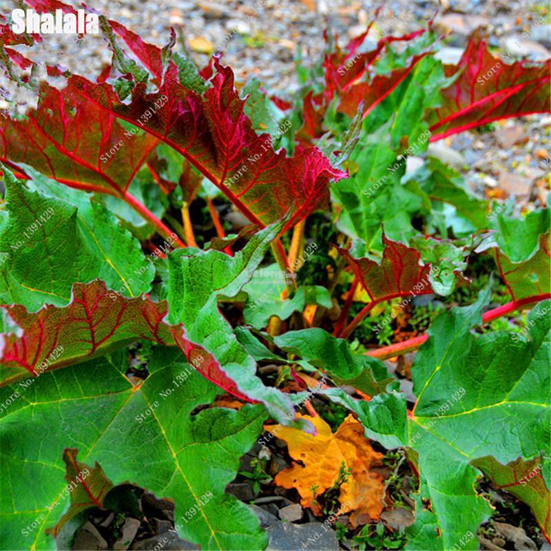 Gunnera Manicata Seeds Bonsai Plant end 1082018 450 AM