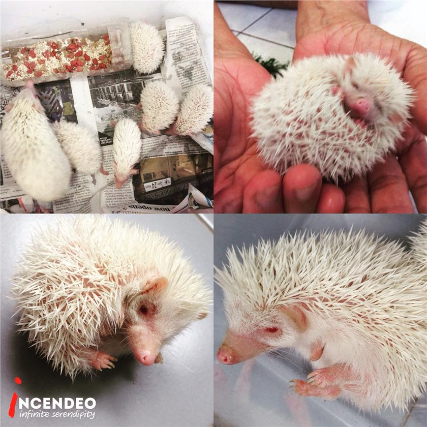 **incendeo** - Little Albino Hedgehog Baby