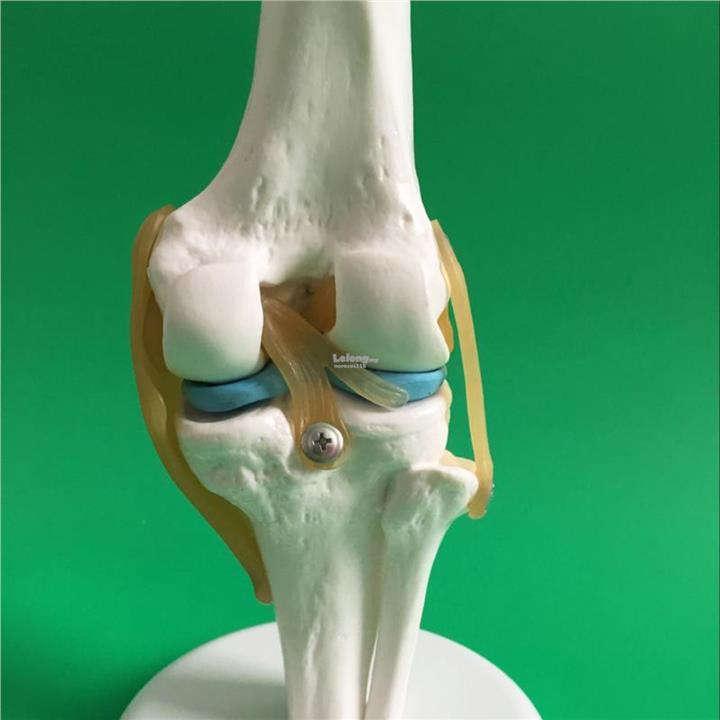 Knee Joint Bone Model Human Knee Ske End 1232019 315 Pm