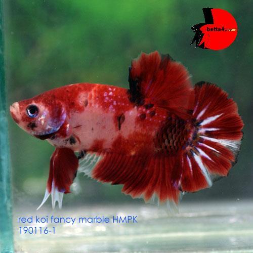 Koi marble hmpk show betta fish end 3 24 2016 12 15 am for Show betta fish
