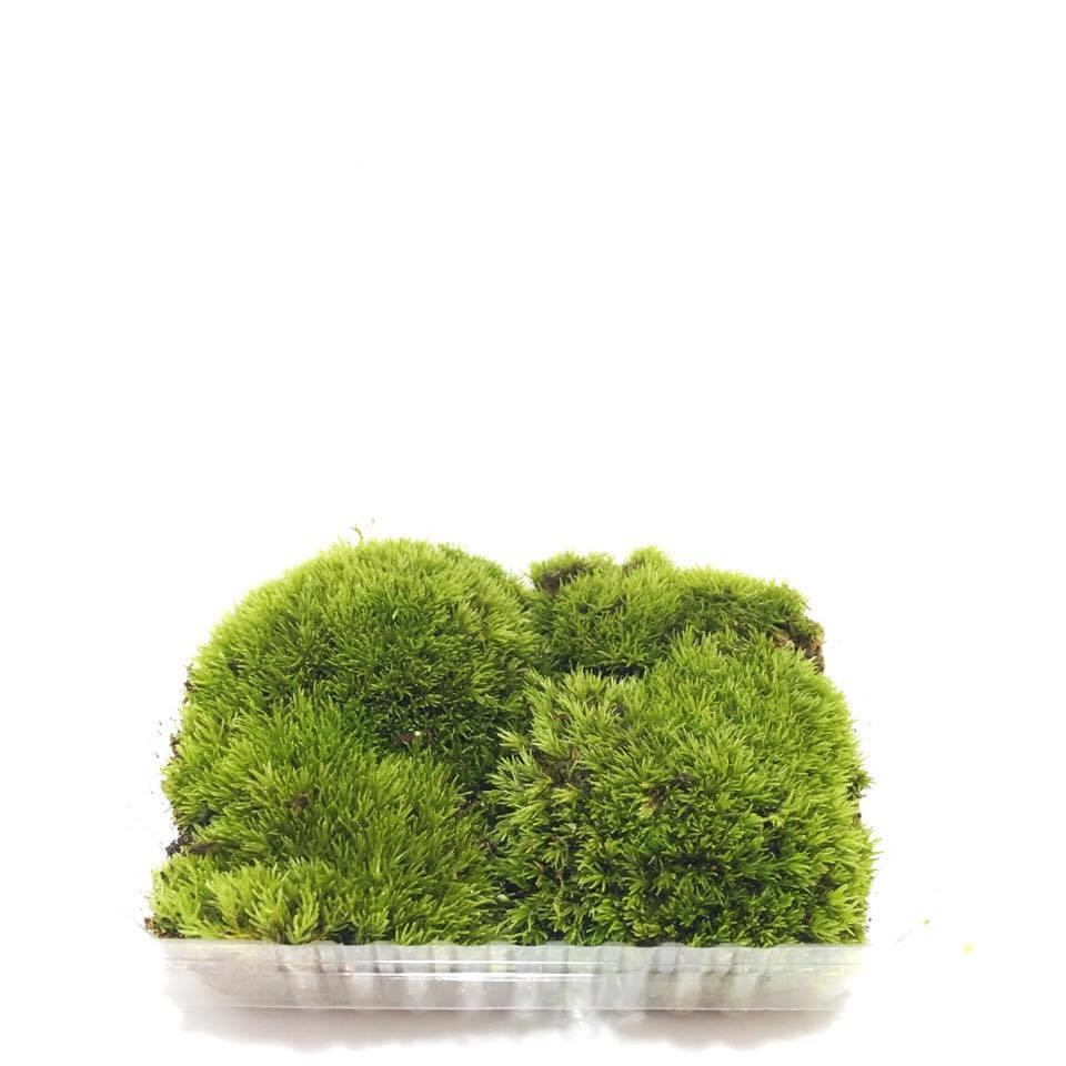 Leucobryum Glaucum Cushion Moss Ter End 3 8 2020 12 15 Am