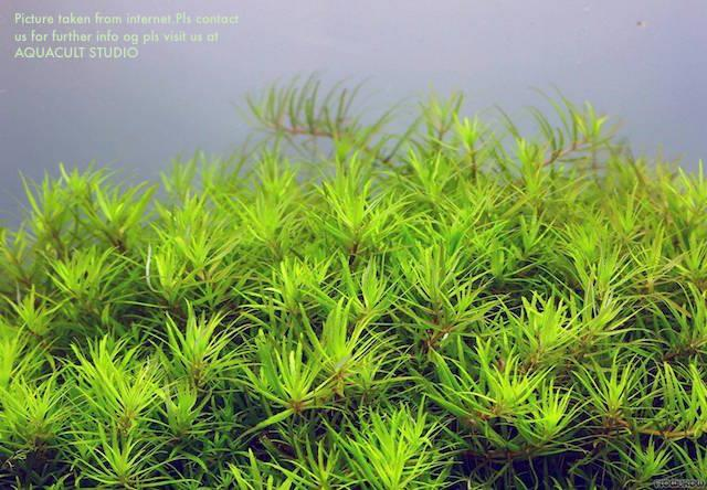 Limnophila sp Vietnam 2' wabikusa (aquarium aquascape plants fish)