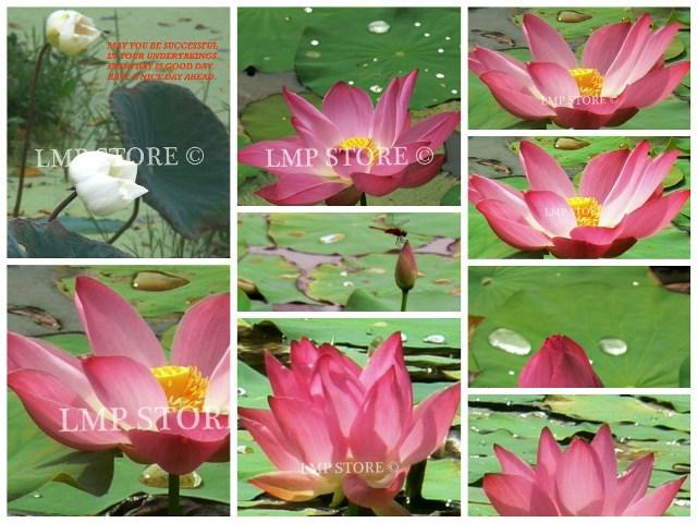 Lotus Flower In The Wild The Whol End 3282019 1215 Am