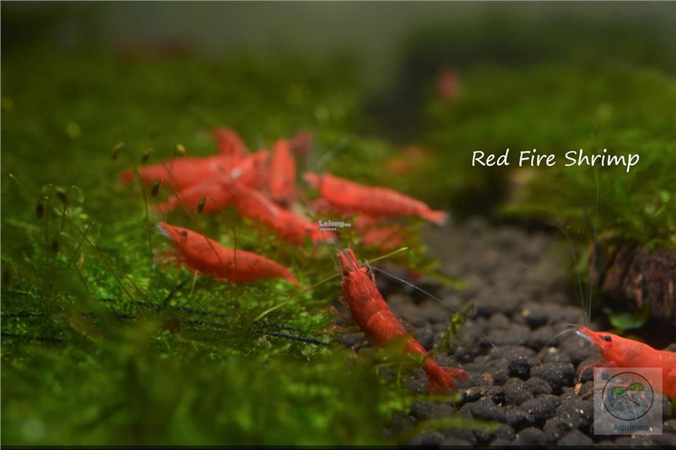 LS Red Fire Shrimp