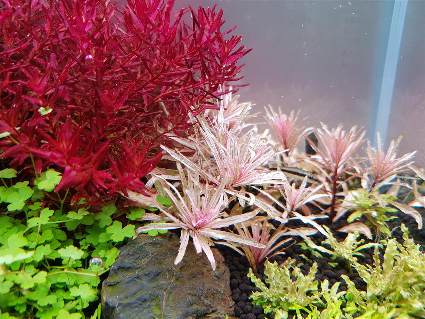 Ludwigia SP Pink Emerged Aquarium Aquascape Aquatic Plant