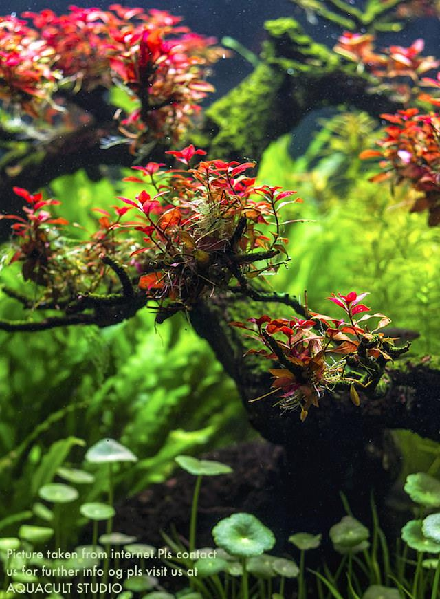 Ludwigia Sp Super Red 2 Quot Wabikusa End 12 30 2019 4 15 Pm