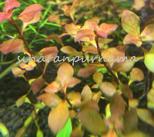 Ludwigia Super Red (1 pot)