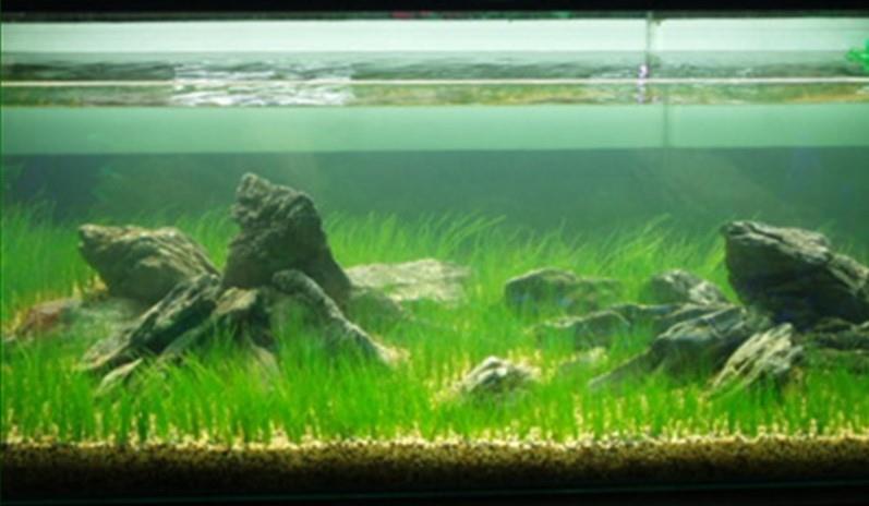Elegant Magic Carpet Seed (Hair Grass Like Leaves Carpet For Aquarium)