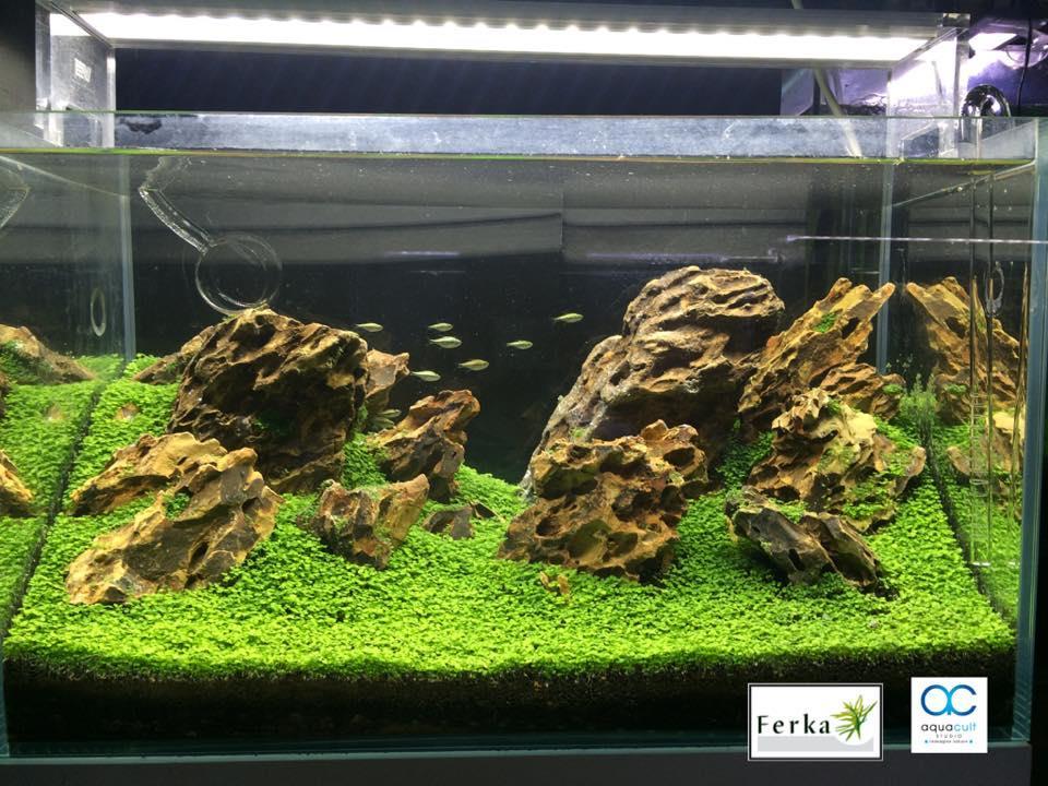 Magic Carpet Seed (plant aquarium vivarium terrarium paludarium))