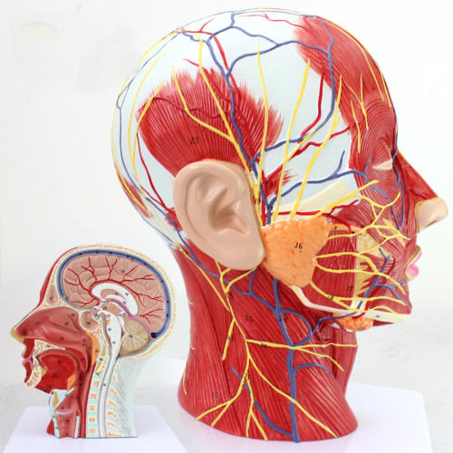 Medi A205 Head And Facial Anatomy M End 462017 136 Am