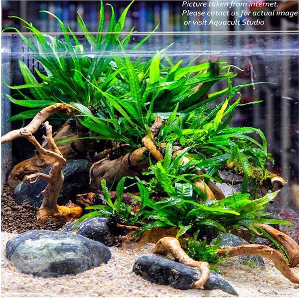 Aquascape Aquarium Supplies: Microsorium Pteropus 'Mini Fern' (Aq (end 3/19/2019 5:15 PM