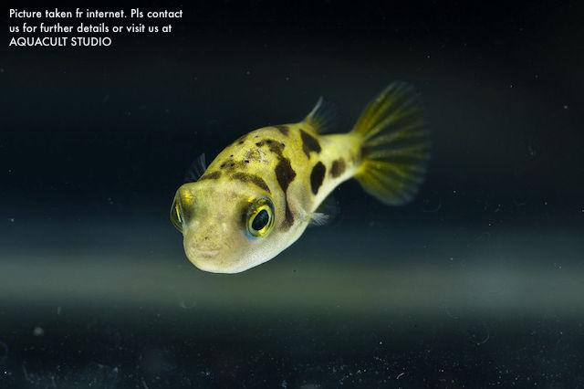 Mini yellow puffer freshwater fish end 2 28 2019 2 15 am for Dwarf puffer fish for sale